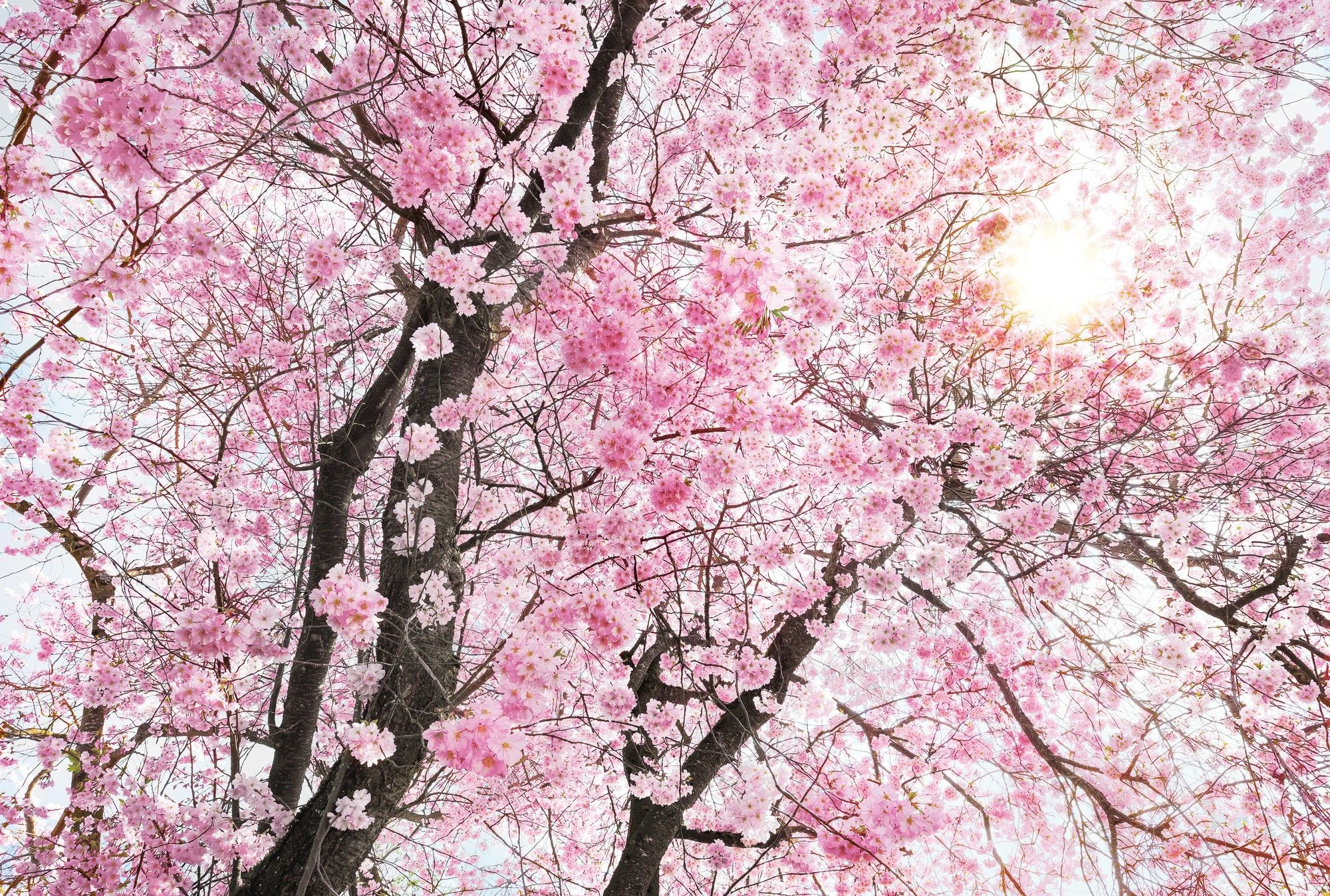 Non Woven Giant Wallpaper 368x248cm Flowers Pink Tree Wall Mural